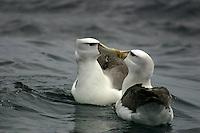 Kissing Shy Albatrosses off Tasmania