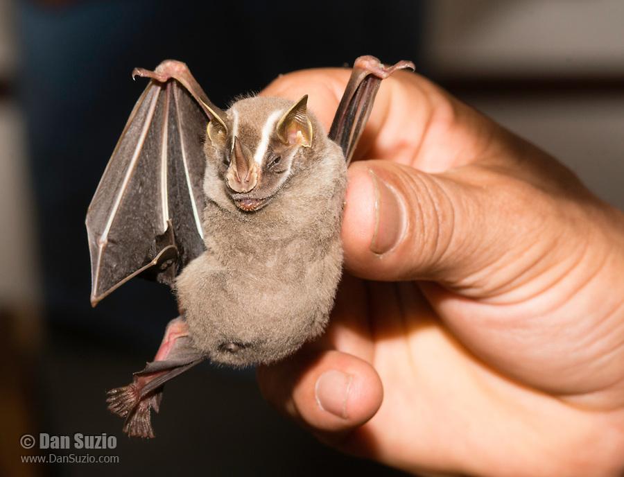 A biologist holds a Common Tent-making Bat, Uroderma bilobatum, in Sarapiquí, Costa Rica