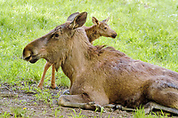 Moose (Alces alces) cow with a small calf lying on the grass, Hellabrunn Zoo, Munich, Bavaria, Germany, Europe
