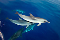 Spotted dolphin (stenella frontalis)Bowriding spotted dolphins. Azores.