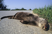 Europäischer Fischotter als Straßenopfer, liegt tot, überfahren auf der Straße, Fisch-Otter, Otter, Lutra lutra, river otter