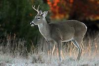 Whitetail buck, first light.