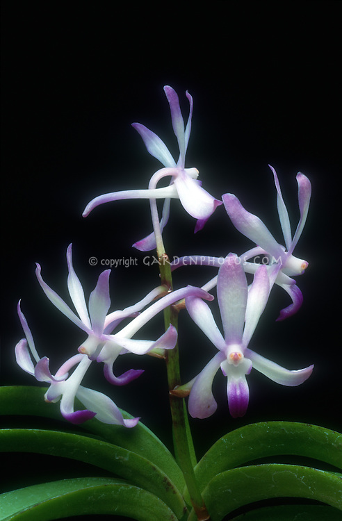 Neostylis Lou Sneary, orchid hybrid of Neofinetia falcata x Rhynchostylis coelestis, fragrant flowers in purple blue and white.  Due to the lumping of Neofinetia into Vanda the RHS now calls this a Vandachostylis