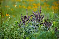 Amorpha canescens, Leadplant flowering in Tallgrass Prairie Preserve, Oklahoma