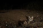 Black-footed Cat (Felis nigripes) female emerging from den at night, Benfontein Nature Reserve, South Africa
