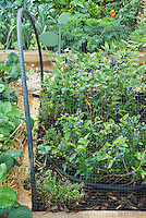 Highbush blueberries fruits growing under net for protection from birds and animals