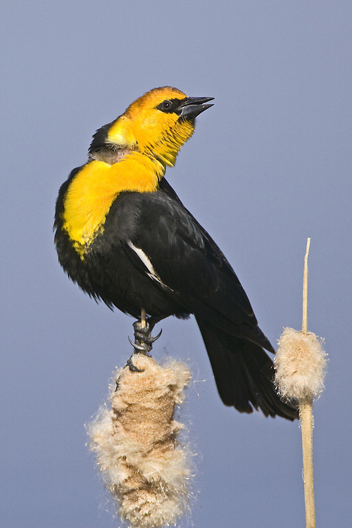 Yellow-headed Blackbird singing from on top of a bullrush