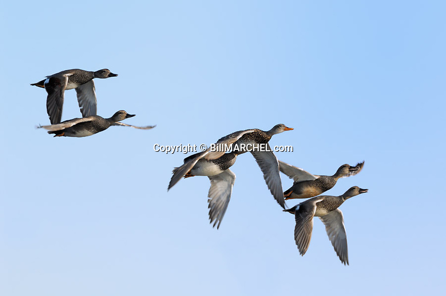 00319-006.02 Gadwall Duck flock in flight against a blue sky.  Hunt, action, courtship, fly, migrate.