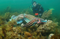 Giant Cuttlefish, Sepia apama, Diver watches breeding aggregation with two rival males in courtship display, Point Lowly, Whyalla, South Australia, Australia, Spencer Gulf, Southern Ocean (MR)