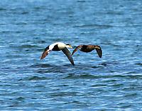 Common eider pair flying