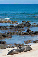 Hawaiian monk seals, Neomonachus schauinslandi, Critically Endangered endemic species, a 5 year old male (RO36), on left, scuffles with a female (R318), on right, at beach on west end of Molokai, USA, Pacific Ocean