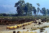 - pastore e greggie di pecore sulla spiaggia di  Qeparò, nel sud del paese....- shepherd and herd of sheeps on the beach of Qeparò, in the south of the country