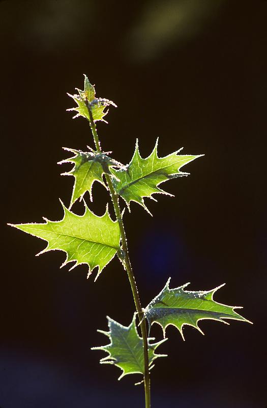 Oregon Grape (mahonia aquifotium). Eugene, Oregon.