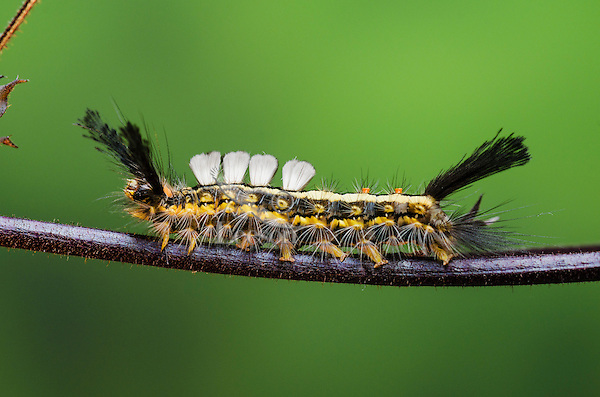 White Marked Tussock Moth Caterpillar (Orgyia leucostigma). summer. Nova Scotia, Canada.