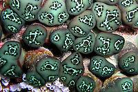 Tunicate Green