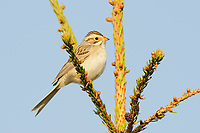 Adult Clay-colored Sparrow (Spizella pallida). Alberta, Canada. May.