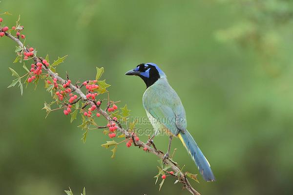 Green Jay (Cyanocorax yncas), adult perched on Agarita (Berberis trifoliolata) with berries, Rio Grande Valley, South Texas, Texas, USA