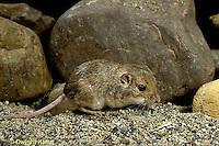 MU33-005z  Plains Pocket Mouse - Perognathus flavescens