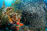 A large scorpionfish perched beside a school of baitfish waiting to strike, Wayag, Raja Ampat, West Papua, Indonesia, Pacific Ocean