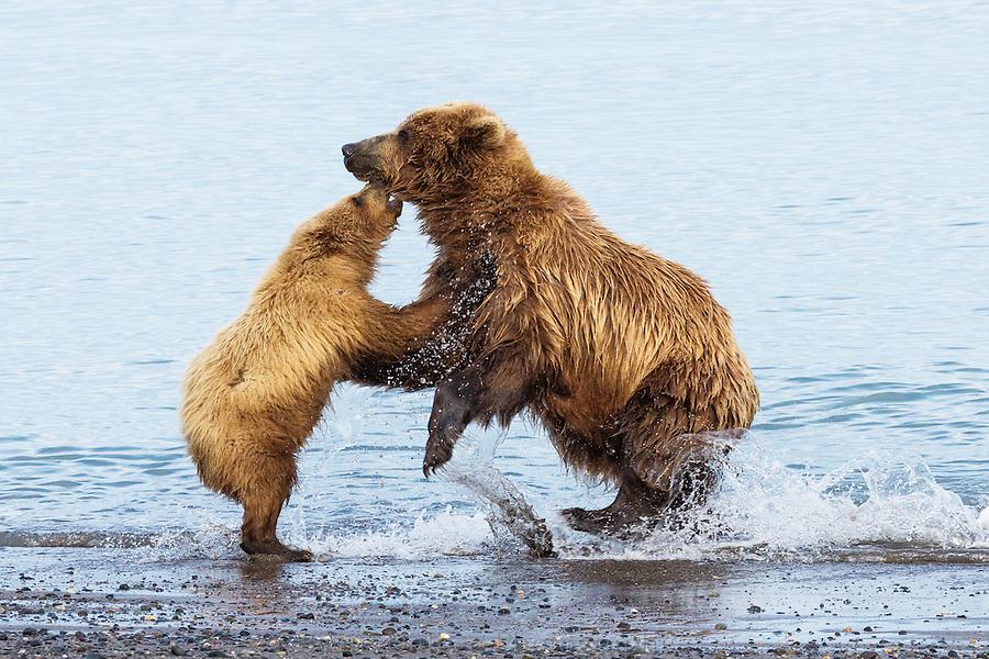 Alaskan brown bear and cub playing on the beach in Lake Clark National Park, Alaska