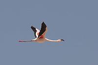Lesser Flamingo flying over Lake Abiata in Ethiopia