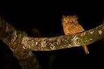 Sunda Frogmouth<br /> (Batrachostomus cornutus) female at night, Tabin Wildlife Reserve, Sabah, Borneo, Malaysia