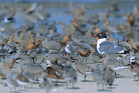 Laughing Gull, and foraging shorebirds, Kimble's Beach, New Jersey