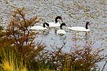 Black-necked Swan<br /> (Cygnus melancoryphus) family, Torres del Paine National Park, Patagonia, Chile