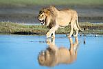 Male African Lion (Panthera leo) showing reflection at Big Marsh, near Ndutu, Nogorongoro Conservation Area / Serengeti National Park, Tanzania.