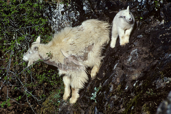 Mountain goat (Oreamnos americanus) nanny and kid. Nanny is shedding heavy winter fur, Pacific N.W.