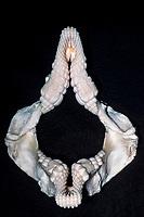 jaws of California horn shark, Heterodontus francisci, used to crush shells