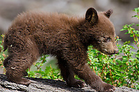 Wild Black Bear cub (cub will be brown or cinnamon color phase when it grows up).  Western U.S., Spring.