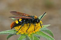 Gelbstirnige Dolchwespe, Rotstirnige Dolchwespe, Männchen, Megascolia maculata, Regiscolia maculata, Scolia maculata, mammoth wasp, male, Dolchwespen, Scoliidae, scoliid wasps