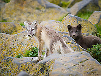Pribilof Islands Arctic foxes, Vulpes lagopus pribilofensis, in differently colored coats, summer, St Paul Island, Alaska.