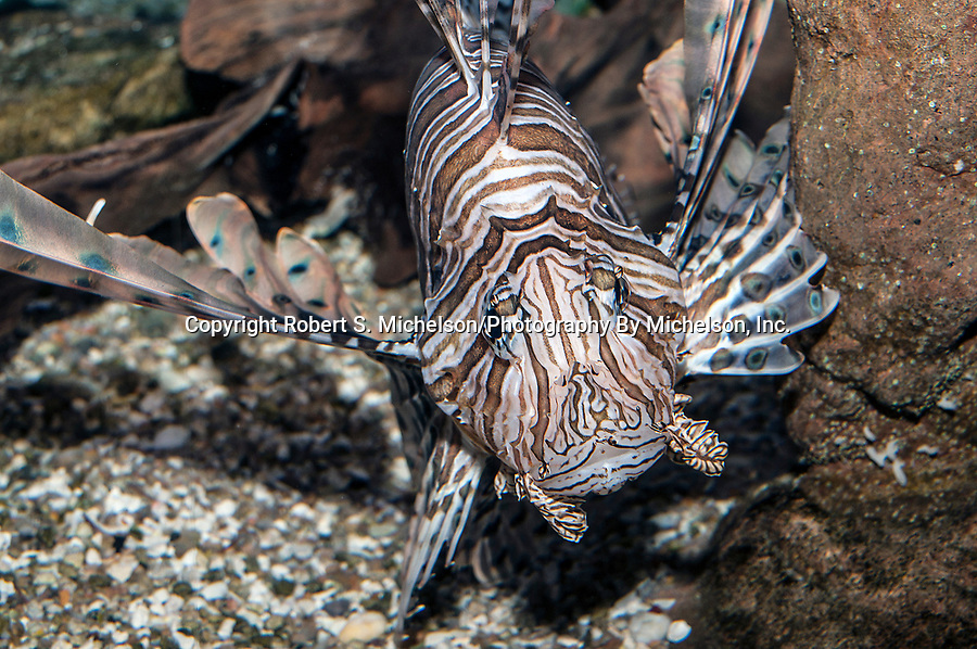 Red Lionfish facing camera 3/4 body view