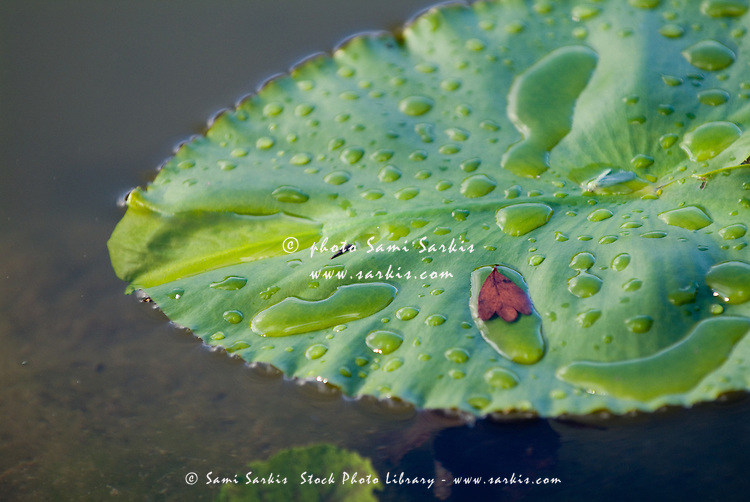 Dew drops on a water lily leaf.