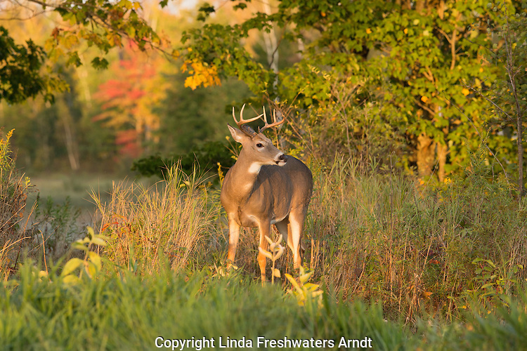 Young white-tailed buck