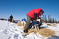 Veterinarian Roger Troutman examines a Hugh Neff dog at the Cripple checkpoint 1/2 way into the race during the 2010 Iditarod