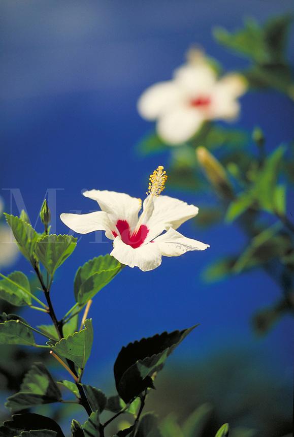 flower white hibiscus blue sky. Saint Thomas Virgin Islands United States Virgin Islands caribbean.