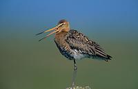 Uferschnepfe, Ufer-Schnepfe, Schnepfe, Limosa limosa, black-tailed godwit