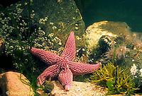 1Y35-011a  Starfish - Boreal asterias