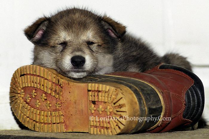 Wolf Pup asleep on boot  #Z6