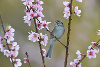Chipping Sparrow (Spizella passerina), adult perched on blooming Peach tree (Prunus persica),Hill Country, Central Texas, USA
