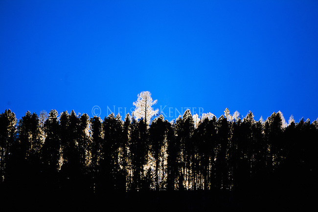A tall tree is back lit with bright sunshine on a ridge in the Rock Creek drainage in western Montana