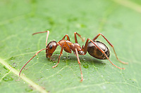 An Ant (Formica incerta) forages on the surface of a leaf.