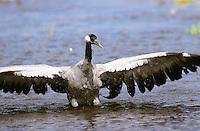 Kranich, im Wasser badend, Grus grus, common crane