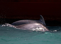 BNPS.co.uk (01202 558833)<br /> Pic: TomBrereton/BNPS<br /> <br /> Pictured: The dolphins a swim against a ship <br /> <br /> Dolphins from one of the three colonies known to inhabit UK waters have become the first to swim over 800 miles to join another group, marine scientists have revealed.<br /> <br /> The two bottlenose dolphins are known to have left the Moray Firth in Scotland in 2018 and have now joined the group that inhabit the sea off the south west coast.