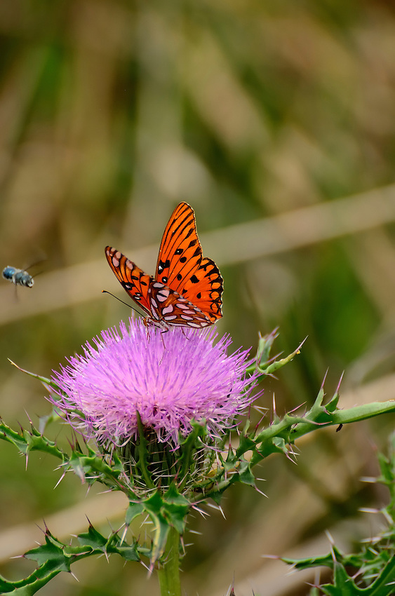 Butterfly on Scotch Thistle, which  iwas ntroduced into the U.S. as an ornamental in the 1800s.  Note the green bottle fly approaching.
