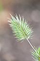 Eremopyrum bonaepartis, early July.