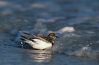 Ruddy Turnstone, Arenaria interpres, adult bathing winter plumage, Sanibel Island, Florida, USA